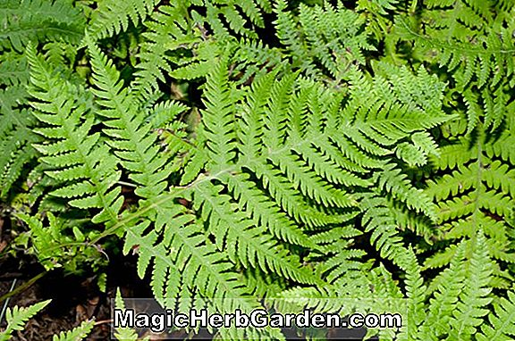 Phegopteris hexagonoptera (Broad Beech Fern)