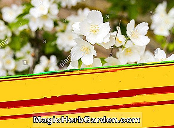Planter: Philadelphus (Bouquet Blanc Mock Orange)