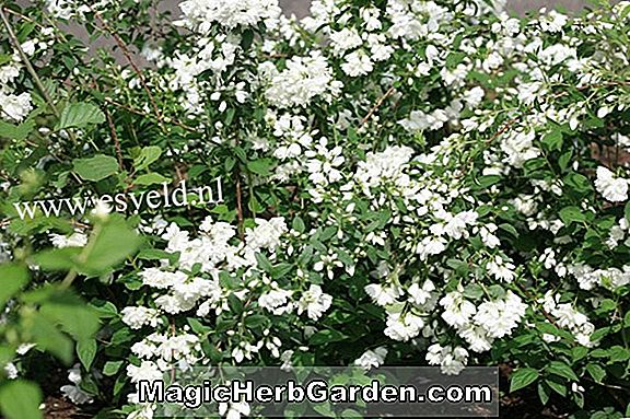 Philadelphus (Girandole Mock Orange) - #2