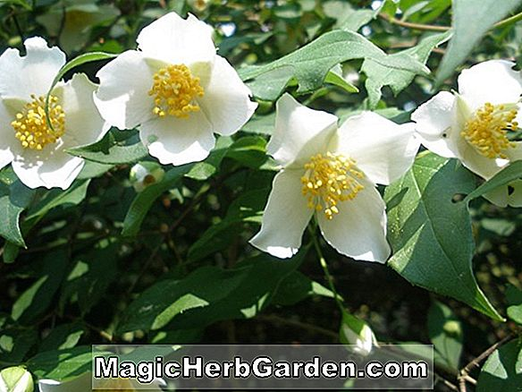 Planter: Philadelphus (Mont Blanc Mock Orange)