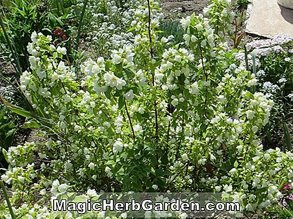 Philadelphus (Innocence Mock Orange)