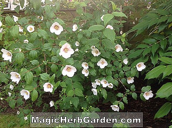 Planter: Philadelphus (Snowgoose Mock Orange)