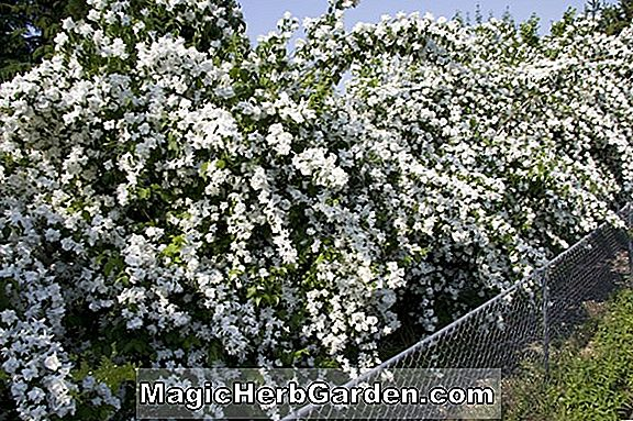 Planter: Philadelphus (Virginal Mock Orange)