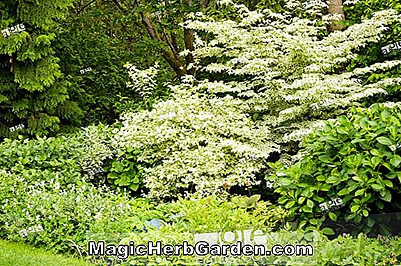 Philadelphus coronarius (Variegated Mock Orange) - #2