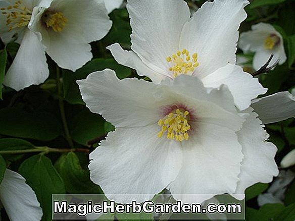 Planter: Philadelphus delavayi (Mock Orange)