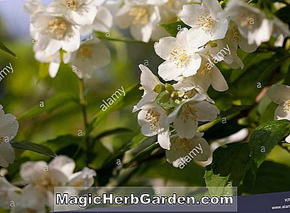 Philadelphus (Sybille Mock Orange) - #2
