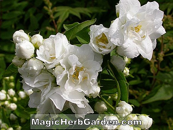 Philadelphus virginalis (Minnesota Snowflake Mock Orange) - #2