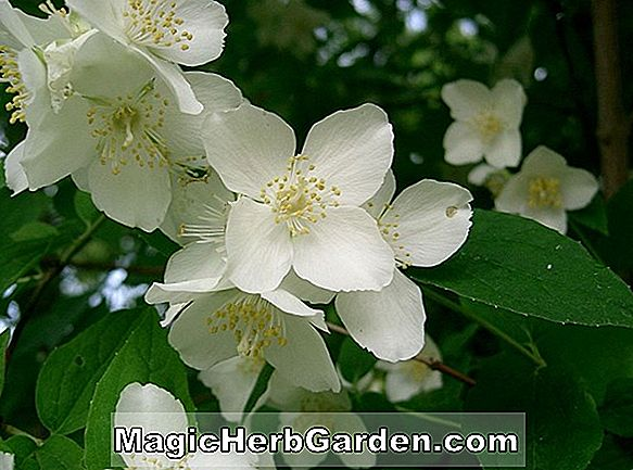 Planter: Philadelphus (Beauclerk Mock Orange)