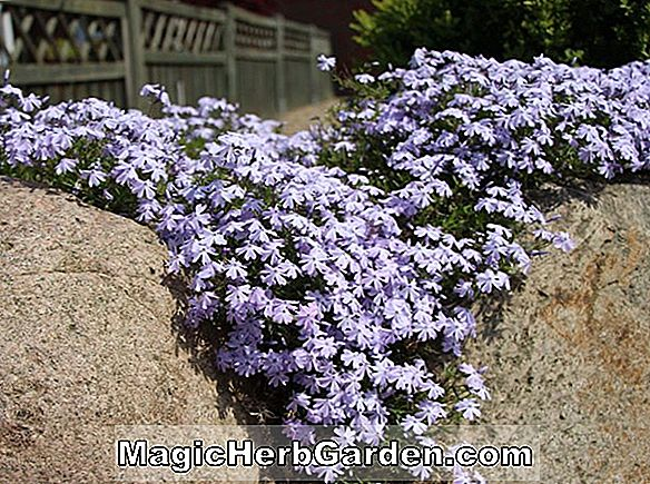 Phlox (Emerald Cushion Phlox)