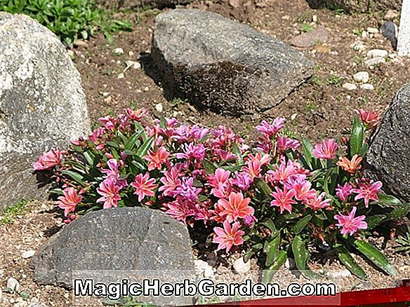 Planter: Phlox drummondii (Globe Mixed Annual Phlox)