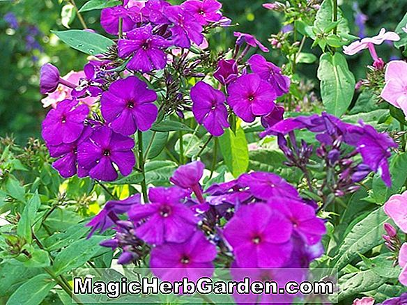 Planter: Phlox paniculata (The King Garden Phlox)