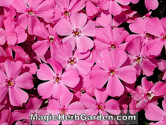 Phlox subulata (Red Wings Moss Phlox)