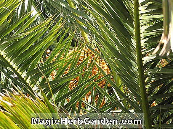 Planter: Phoenix canariensis (Canary Island Date Palm)