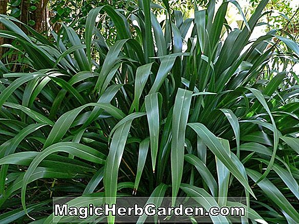 Phormium cookianum (Maori Chief Mountain Lin)