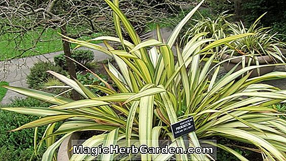 Phormium cookianum (Cream Delight Mountain Len)