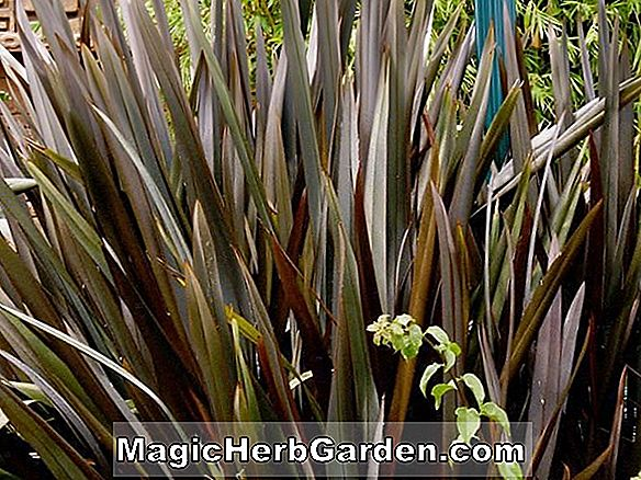 Phormium tenax (Bronze Baby New Zealand Lin)