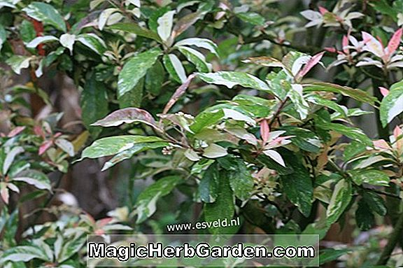 Photinia davidiana (Palette Photinia)