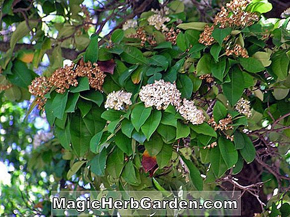 Photinia nussia (Nussia Photinia)