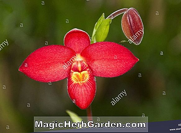 Phragmipedium sedenii (Phragmipedium Orchid)