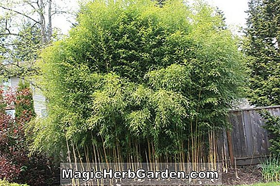 Planter: Phyllostachys bambusoides (Giant Timber Bamboo) - #2