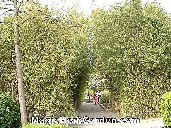 Phyllostachys glauca (Glaucous Bamboo) - #2