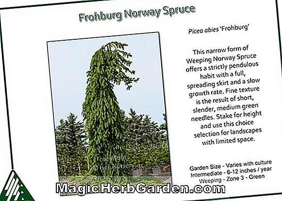 Planter: Picea abies (Norway Spruce)