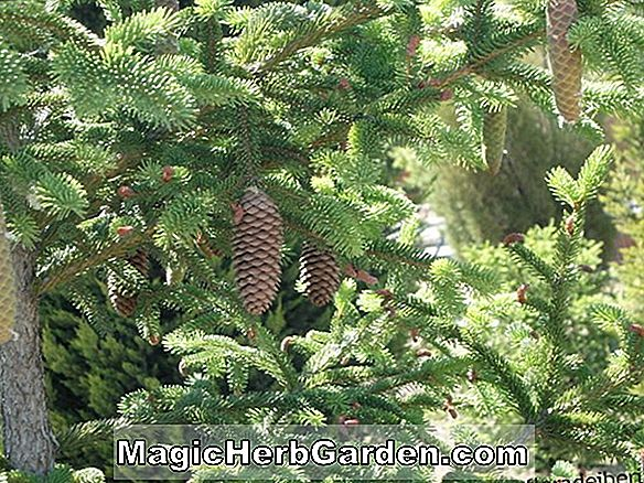 Picea abies (Tolleymore Spruce)