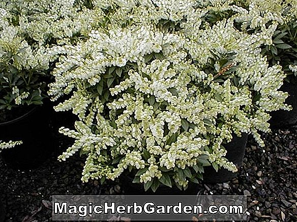 Planter: Begonia Queen Juliana (Queen Juliana Begonia)