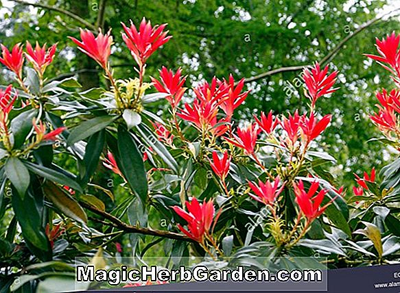 Pieris formosa (Himalaya Pieris)