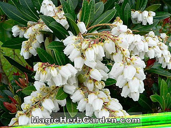 Planter: Pieris japonica (Dorothy Wyckoff Pieris)