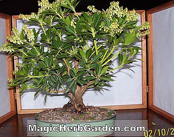 Planter: Pieris japonica (Little Heath Pieris)
