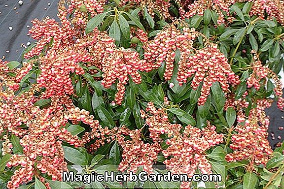 Planter: Pieris japonica (Scarlett O'Hara Pieris)