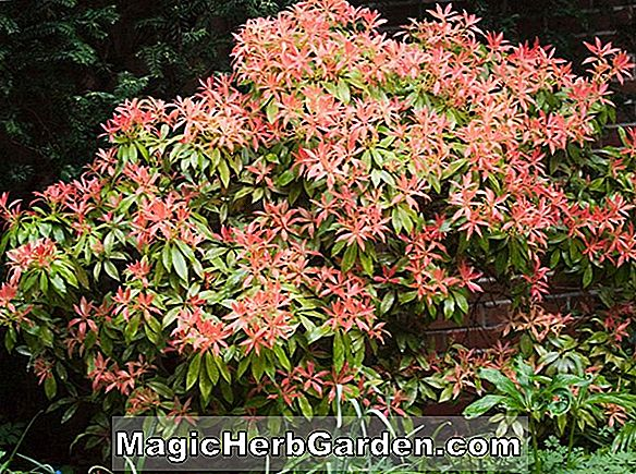 Pieris (Forest Flame Pieris)
