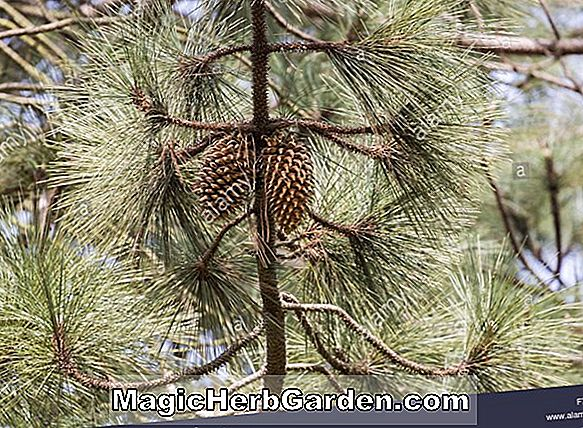 Pinus coulteri (Coulter Pine)
