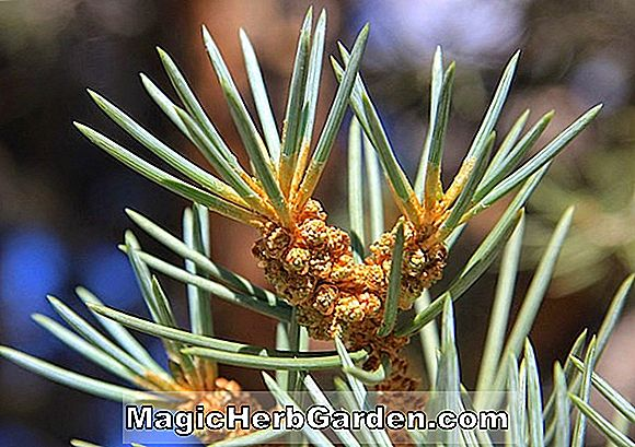 Pinus monophylla (Single-leaf Pinyon)