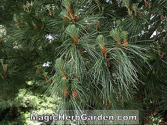 Planter: Pinus muricata (Bishop Pine)