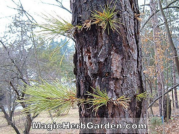 Planter: Pinus rigida (Pitch Pine)