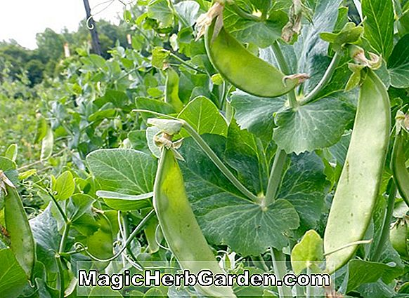 Pisum sativum (Oregon Sugar Pod II Snow Pea)