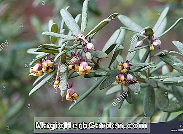 Pflanzen: Pittosporum bicolor (Pittosporum) - #2