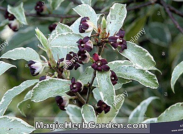 Planter: Pittosporum tenuifolium (Silver Queen Kohuhu) - #2
