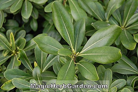 Planter: Pittosporum tobira (Tobira Pittosporum)