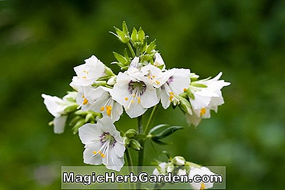 Planter: Polemonium caeruleum (Jacobs Ladder)