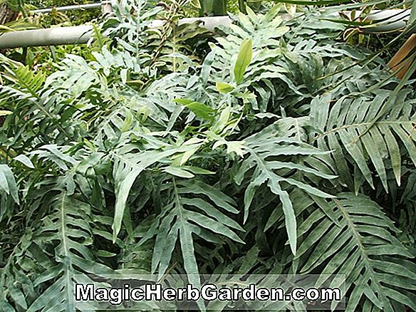 Planter: Polypodium aureum (engelsk Crested Rabbit Foot Fern)