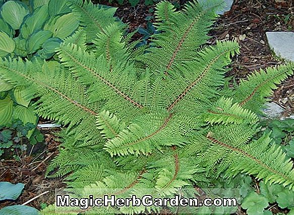 Polystichum setiferum (Cristatum Soft Shield Fern) - #2