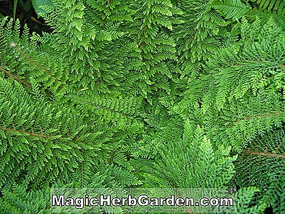 Polystichum setiferum (Tripinnatum Soft Shield Fern)