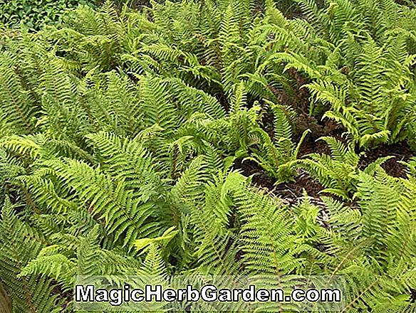 Polystichum setiferum (Divisilobum Soft Shield Fern)
