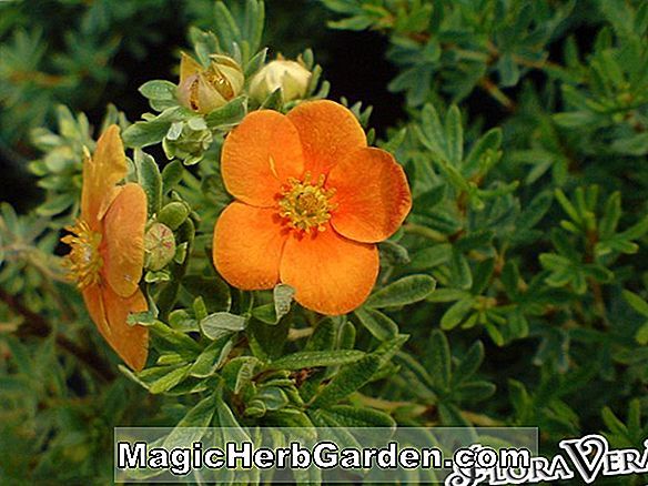 Planter: Potentilla fruticosa (Red Robin Shrubby Cinquefoil)