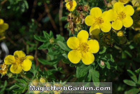 Planter: Potentilla fruticosa (Gold Carpet Potentilla)