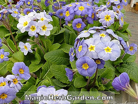 Planter: Primula (Polyanthus Group)