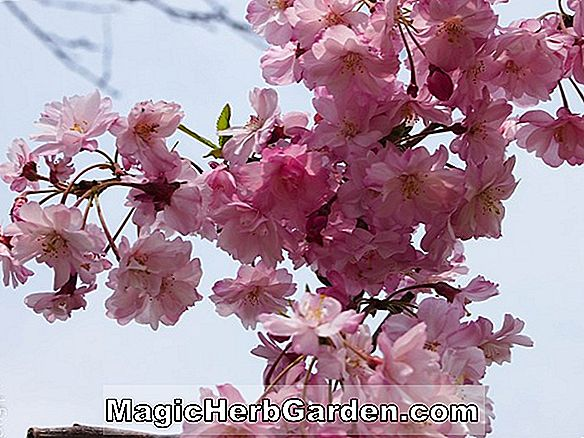 Prunus (Weeping Double Red Blossom Peach)